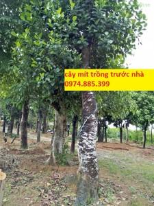 cay-mit-cong-trinh